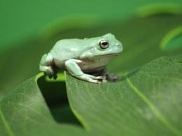 White's Tree Frog Medium
