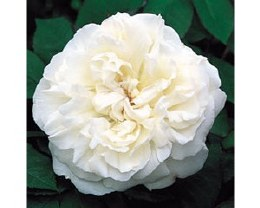 Winchester Cathedral David Austin Rose - 4 Litre