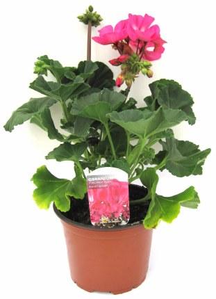 Geranium Pink 13cm