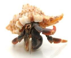Exotic Shell Hermit Crab
