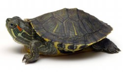 Red Ear Slider Turtle 4inch
