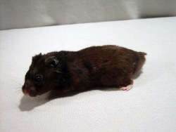 Blackbear Hamster