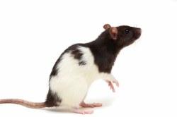 Rat Large