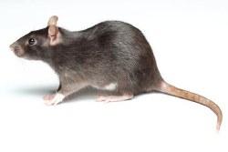 Rat Medium