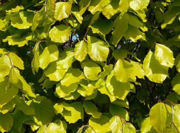 Fagus syl. 'Dawycks Gold'