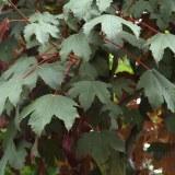 Acer pseudo. 'Atropurpureum'