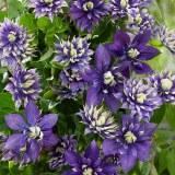 Clematis florida 'Taiga'®
