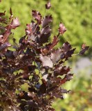 Fagus syl. 'Dawycks Purple'