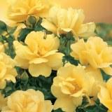Flower Carpet Gold Rose