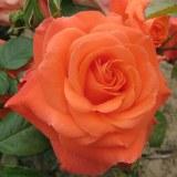 Newsflash Floribunda Rose