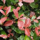 Photinia fraseri 'Red Robin'