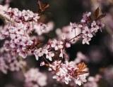 Prunus pissardii 'Nigra'