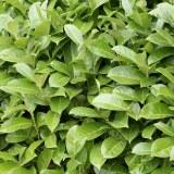 Laurus 'Rotundifolia' (Cherry Laurel)