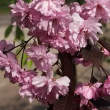 Prunus serr. 'Royal Burgundy'