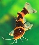 Brown Bumblebee Catfish