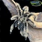 Curlyhair Tarantula