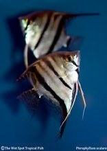 ANGELFISH (L)