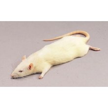 RATS WEANER SMALL 25-50g