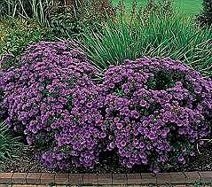 Aster, Purple Dome, 1 gal