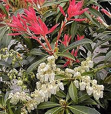 Pieris, Forest Flame, 2 gal