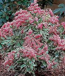 Pieris, Passion Frost, 3 gal