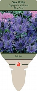 Sea Holly, Blue Star, 2 gal