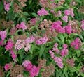 Spirea, Anthony Waterer, 3 gal