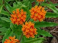 Butterfly Weed, Orange, 1 gal