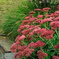 Sedum, Autumn Joy, 1g