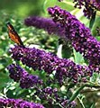 Buddleia, Black Knight, 3 gal