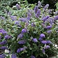 Buddleia, Blue Heaven, 3 gal