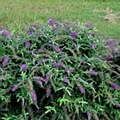 Buddleia, Purple Haze, 3g