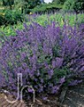 Catmint, Walker's Low, 1g