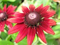 Rudbeckia, Cherry Brandy, 1 g