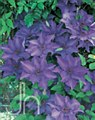 Clematis, President, 1g