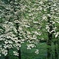Dogwood, Cloud Nine, 1.5-2""