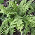 Fern, Clumping Wood, 1 gal
