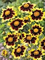 Coreopsis, Cosmic Eye, 1 gal