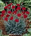 Dianthus, Fire Star, 1 gal