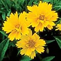 Coreopsis, Early Sunrise, 1 gl