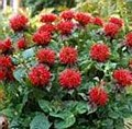 Monarda, Fireball, 1 or 2 gal