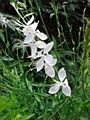 Gaura, Whirling Butterfly, 1 g
