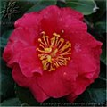 Camellia, Hot Flash, 7 gal