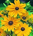 Rudbeckia, Indian Summer, 1 gl