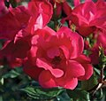 Rose, Knock Out Red, 3 gal