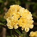 Rose, Lady Banksia, Yellow, 5g