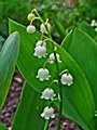 Lily of the Valley, 1 gal