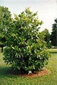 Magnolia, Little Gem FTM 100 g