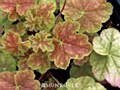 Heuchera, Miracle, 1/2 g