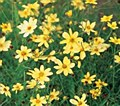 Coreopsis, Moonbeam, 1 gal